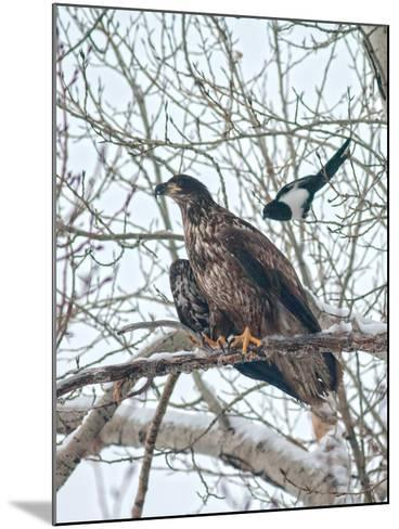 An Immature Bald Eagle Being Dive-Bombed by a Black-Billed Magpie Near the Magpie's Nest-Gordon Wiltsie-Mounted Photographic Print
