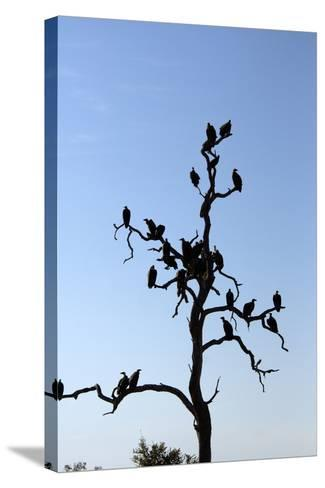 Vultures Perch on a Tree, Selinda Camp, Botswana-Anne Keiser-Stretched Canvas Print