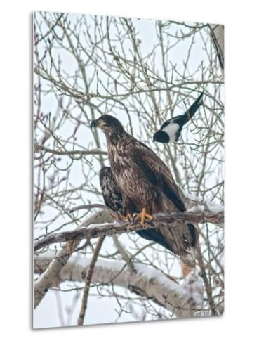 An Immature Bald Eagle Being Dive-Bombed by a Black-Billed Magpie Near the Magpie's Nest-Gordon Wiltsie-Metal Print