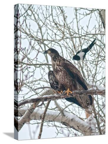 An Immature Bald Eagle Being Dive-Bombed by a Black-Billed Magpie Near the Magpie's Nest-Gordon Wiltsie-Stretched Canvas Print