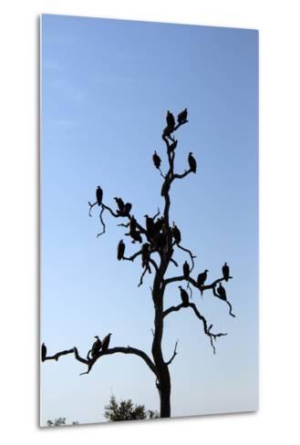 Vultures Perch on a Tree, Selinda Camp, Botswana-Anne Keiser-Metal Print