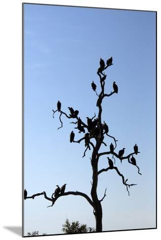 Vultures Perch on a Tree, Selinda Camp, Botswana-Anne Keiser-Mounted Photographic Print