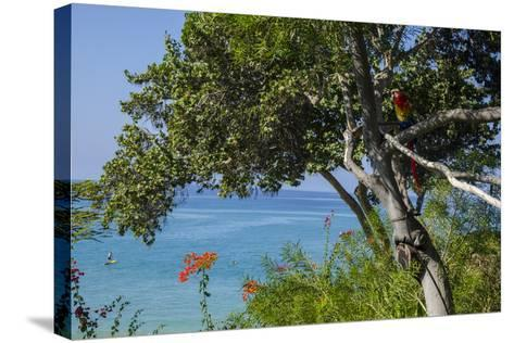 Macaw Perching on the Branch of a Tree with Idyllic Ocean in Background, Hawaii-Peter Mcbride-Stretched Canvas Print
