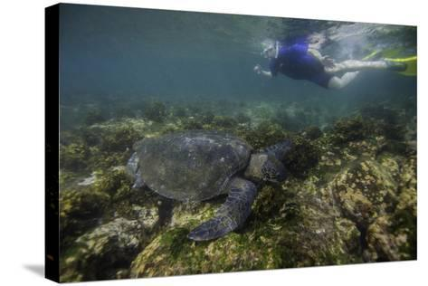 Snorkeler Swimming with a Green Sea Turtle-Jad Davenport-Stretched Canvas Print