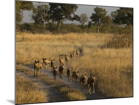 A Pack of African Wild Dogs, Lycaon Pictus, Walking in a Row, on Patrol-Beverly Joubert-Mounted Photographic Print