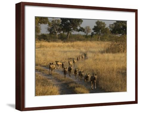 A Pack of African Wild Dogs, Lycaon Pictus, Walking in a Row, on Patrol-Beverly Joubert-Framed Art Print