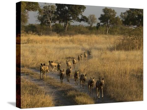 A Pack of African Wild Dogs, Lycaon Pictus, Walking in a Row, on Patrol-Beverly Joubert-Stretched Canvas Print