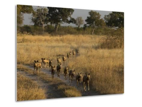 A Pack of African Wild Dogs, Lycaon Pictus, Walking in a Row, on Patrol-Beverly Joubert-Metal Print