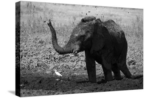 An African Elephant, Loxodonta Africana, Mudding Itself under the Hot Sun-Beverly Joubert-Stretched Canvas Print