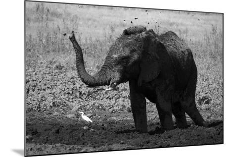 An African Elephant, Loxodonta Africana, Mudding Itself under the Hot Sun-Beverly Joubert-Mounted Photographic Print
