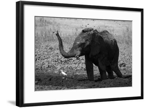 An African Elephant, Loxodonta Africana, Mudding Itself under the Hot Sun-Beverly Joubert-Framed Art Print