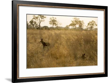Two African Wild Dogs, Lycaon Pictus, in Grass at Sunset-Beverly Joubert-Framed Art Print