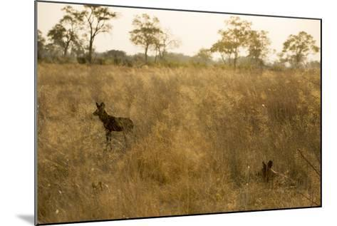 Two African Wild Dogs, Lycaon Pictus, in Grass at Sunset-Beverly Joubert-Mounted Photographic Print