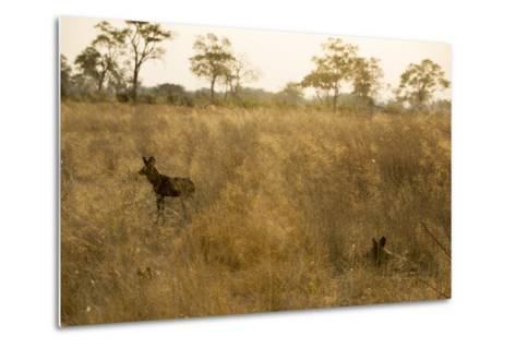 Two African Wild Dogs, Lycaon Pictus, in Grass at Sunset-Beverly Joubert-Metal Print