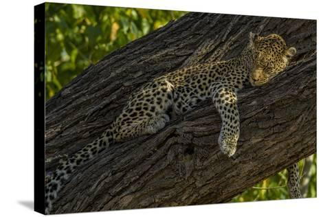 A Leopard, Panthera Pardus, Sleeping on a Tree Branch-Beverly Joubert-Stretched Canvas Print