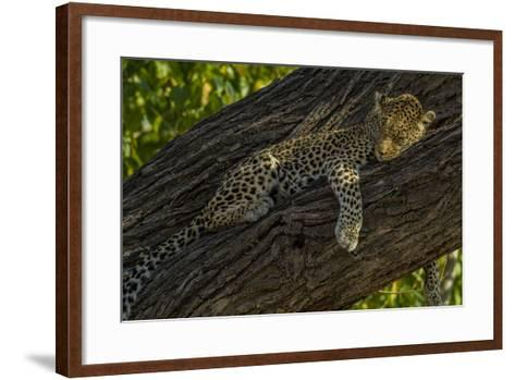 A Leopard, Panthera Pardus, Sleeping on a Tree Branch-Beverly Joubert-Framed Art Print