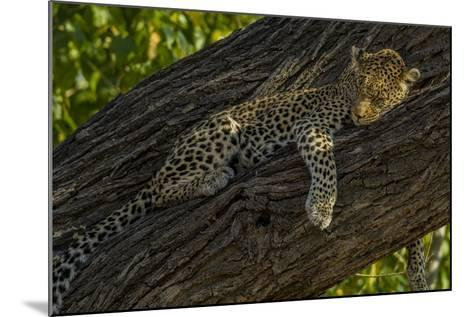 A Leopard, Panthera Pardus, Sleeping on a Tree Branch-Beverly Joubert-Mounted Photographic Print