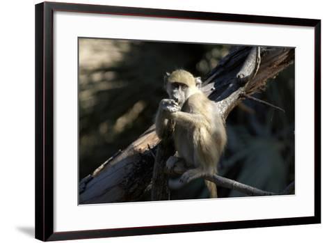Chacma Baboon, Kwetsani Camp, Botswana-Anne Keiser-Framed Art Print
