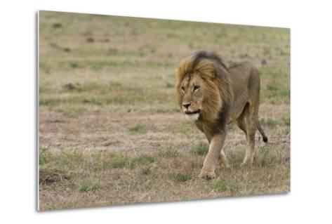 A Male Lion, Panthera Leo, Walking at Masai Mara National Reserve-Sergio Pitamitz-Metal Print