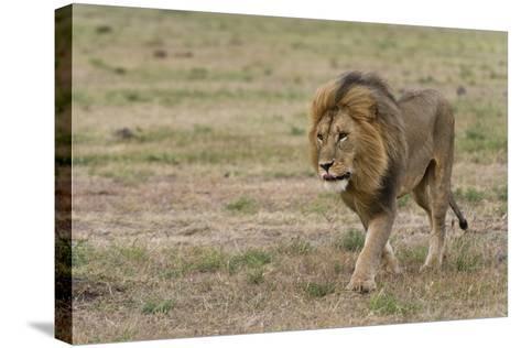 A Male Lion, Panthera Leo, Walking at Masai Mara National Reserve-Sergio Pitamitz-Stretched Canvas Print