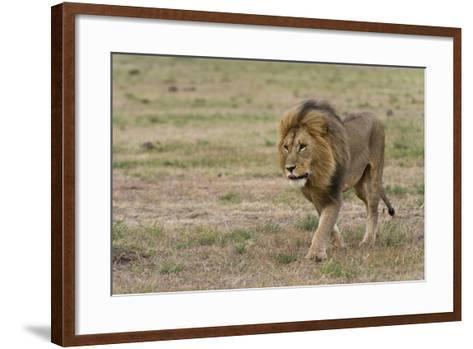 A Male Lion, Panthera Leo, Walking at Masai Mara National Reserve-Sergio Pitamitz-Framed Art Print
