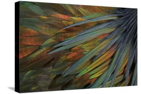 Feathers of a Nicobar Pigeon, Caloenas Nicobarica-Timothy Laman-Stretched Canvas Print