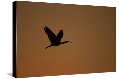 A Scarlet Ibis Flies Through the Orange Sky at Sunset over Orinoco River Delta, Venezuela-Timothy Laman-Stretched Canvas Print