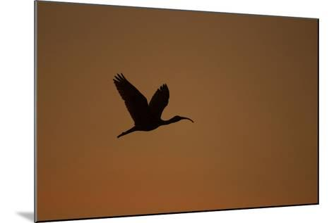 A Scarlet Ibis Flies Through the Orange Sky at Sunset over Orinoco River Delta, Venezuela-Timothy Laman-Mounted Photographic Print