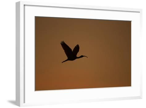 A Scarlet Ibis Flies Through the Orange Sky at Sunset over Orinoco River Delta, Venezuela-Timothy Laman-Framed Art Print