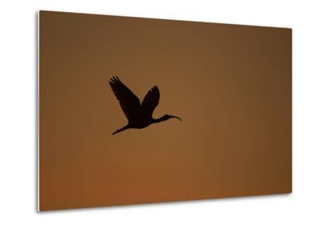 A Scarlet Ibis Flies Through the Orange Sky at Sunset over Orinoco River Delta, Venezuela-Timothy Laman-Metal Print