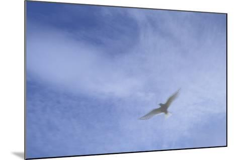 An Arctic Tern in Flight Above Flatey Island, Breidafjord-Michael Melford-Mounted Photographic Print