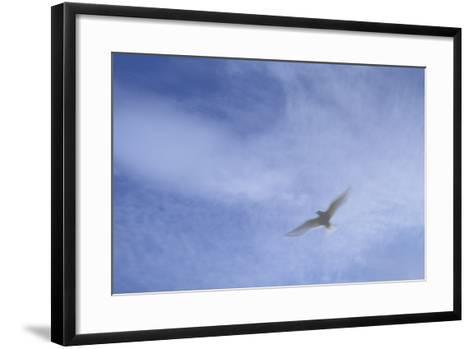 An Arctic Tern in Flight Above Flatey Island, Breidafjord-Michael Melford-Framed Art Print
