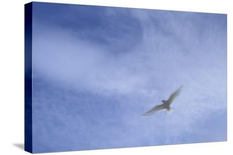 An Arctic Tern in Flight Above Flatey Island, Breidafjord-Michael Melford-Stretched Canvas Print
