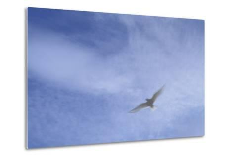 An Arctic Tern in Flight Above Flatey Island, Breidafjord-Michael Melford-Metal Print