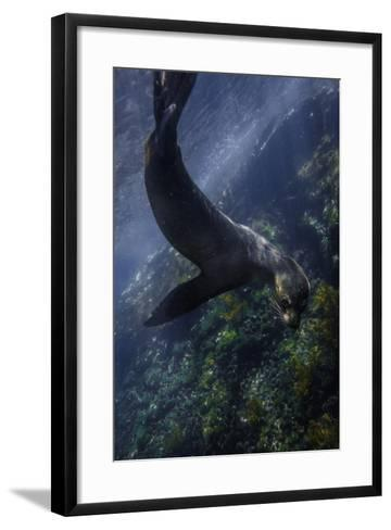 A Galapagos Sea Lion Pup Playing Underwater-Jad Davenport-Framed Art Print