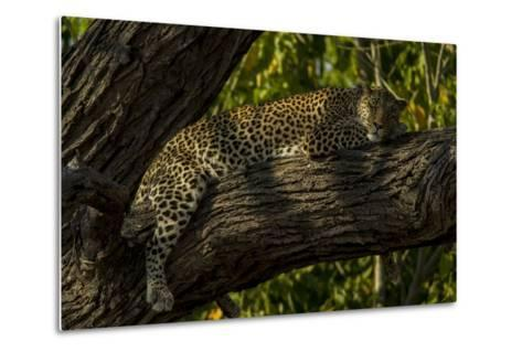 A Leopard, Panthera Pardus, Sleeping on a Tree Branch-Beverly Joubert-Metal Print