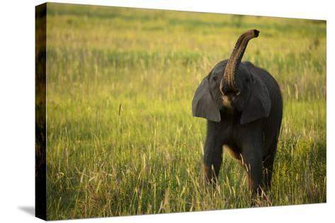 An African Elephant, Loxodonta Africana, Calf Playing in the Grass-Beverly Joubert-Stretched Canvas Print