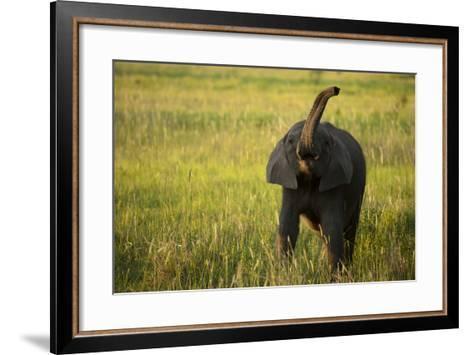 An African Elephant, Loxodonta Africana, Calf Playing in the Grass-Beverly Joubert-Framed Art Print
