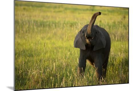 An African Elephant, Loxodonta Africana, Calf Playing in the Grass-Beverly Joubert-Mounted Photographic Print