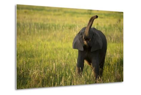 An African Elephant, Loxodonta Africana, Calf Playing in the Grass-Beverly Joubert-Metal Print