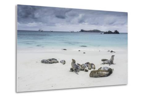 Galapagos Sea Lions Relaxing on the Beach-Jad Davenport-Metal Print