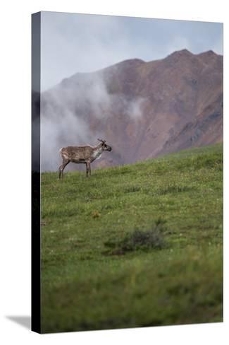A Caribou, Rangifer Tarandus, Stands Alone in Denali National Park-Erika Skogg-Stretched Canvas Print
