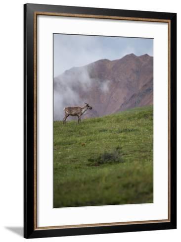 A Caribou, Rangifer Tarandus, Stands Alone in Denali National Park-Erika Skogg-Framed Art Print