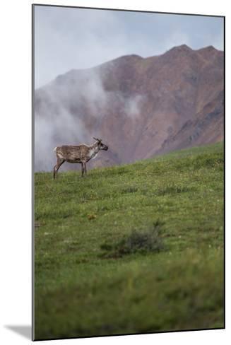 A Caribou, Rangifer Tarandus, Stands Alone in Denali National Park-Erika Skogg-Mounted Photographic Print