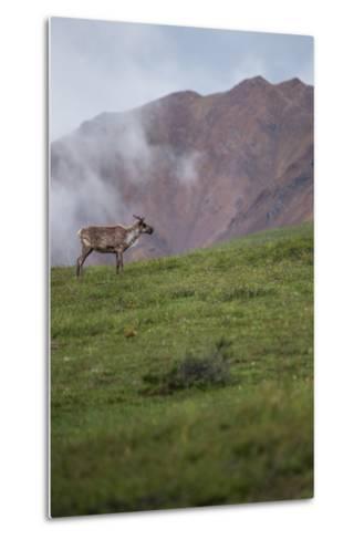 A Caribou, Rangifer Tarandus, Stands Alone in Denali National Park-Erika Skogg-Metal Print