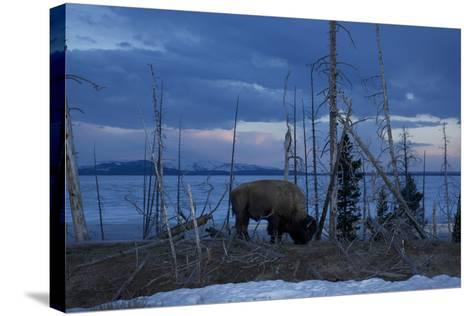 A Bison at Mary's Bay in Yellowstone National Park-Michael Nichols-Stretched Canvas Print