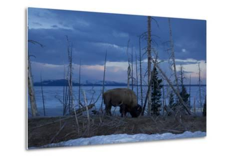 A Bison at Mary's Bay in Yellowstone National Park-Michael Nichols-Metal Print
