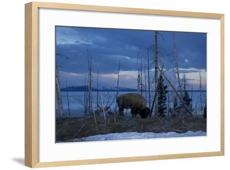 A Bison at Mary's Bay in Yellowstone National Park-Michael Nichols-Framed Art Print