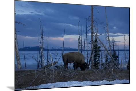 A Bison at Mary's Bay in Yellowstone National Park-Michael Nichols-Mounted Photographic Print