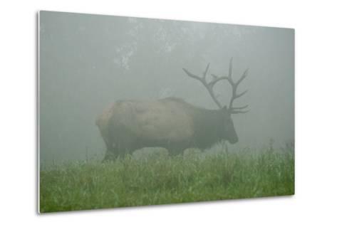 Elk in Morning Fog at Tennessee Wildlife Resources Agency in North Cumberland-Karen Kasmauski-Metal Print